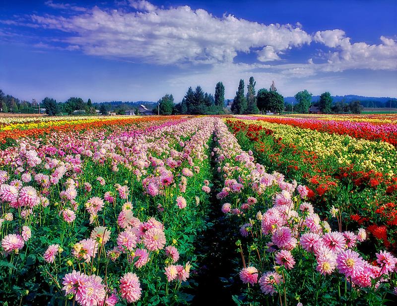 V00271M.tiff   Dahlia fields. Swan Island Dahlia farm. Oregon