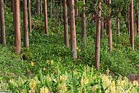 France, île de la Réunion, Forêt du Tevelave, Forêt de cryptomerias et fleurs de Longose   // France, Ile de la Reunion (French overseas department),  Tevelave forest, cryptomerias forest et fleurs d' Hedychium gardnerianum