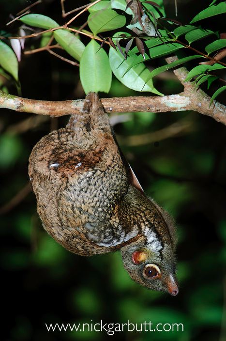 Sunda Colugo  or Sunda Flying Lemur (Cynocephalus [Galeopterus] variegatus) in suspensory resting posture at night. Bako National Park, Sarawak, Borneo.