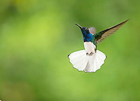 White-necked jacobin, Flrisuga mellivora, in flight, Costa Rica