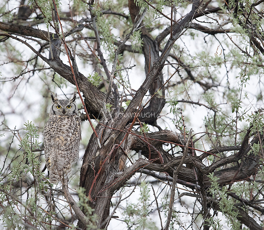 The most common owl species during my visits to eastern Idaho.  This time I saw nine Great horned owls.