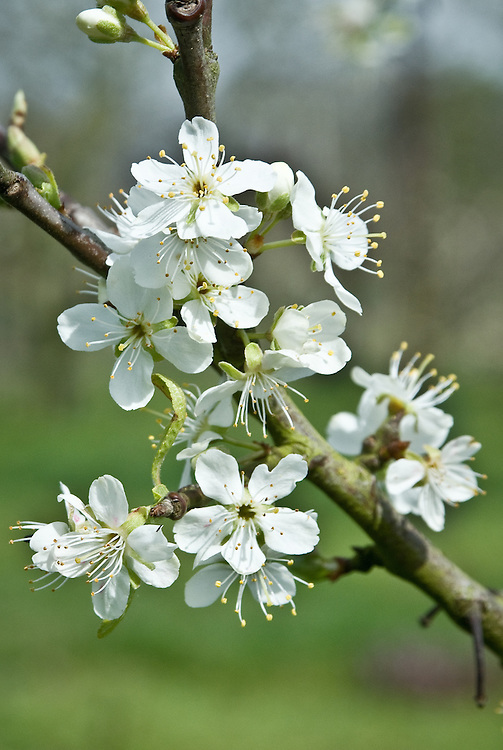 """Blossom of Plum 'Laxton's Gage', early April. """"A yellow English dessert gage raised by Laxton Brothers, Bedford, in 1899 from a cross between 'Greengage' x 'Victoria'. Medium sized, round-oblong, yellow fruit larger than a greengage. Fairly soft, greenish yellow, juicy flesh. Sweet with an excellent rich gage flavour. Vigorous upright to spereading tree. Crops well. Susceptible to silver leaf."""" (Keepers Nursery)"""