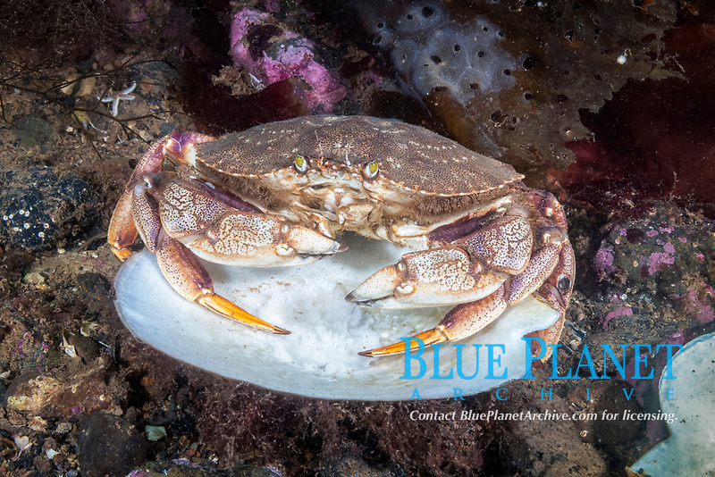 Atlantic Rock Crab, Cancer irroratus, Eastport, Maine, USA, Atlantic Ocean, feeding on scallop.