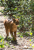 0525-1103  Costa Rican Cougar (Puma), Belize, Puma concolor costaricensis  © David Kuhn/Dwight Kuhn Photography