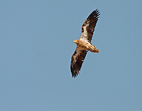 Canarian Egyptian Vulture - Neophron percnopterus majorensis