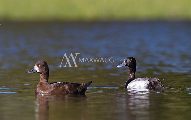 Lesser scaups are another common fowl species seen throughout the park.