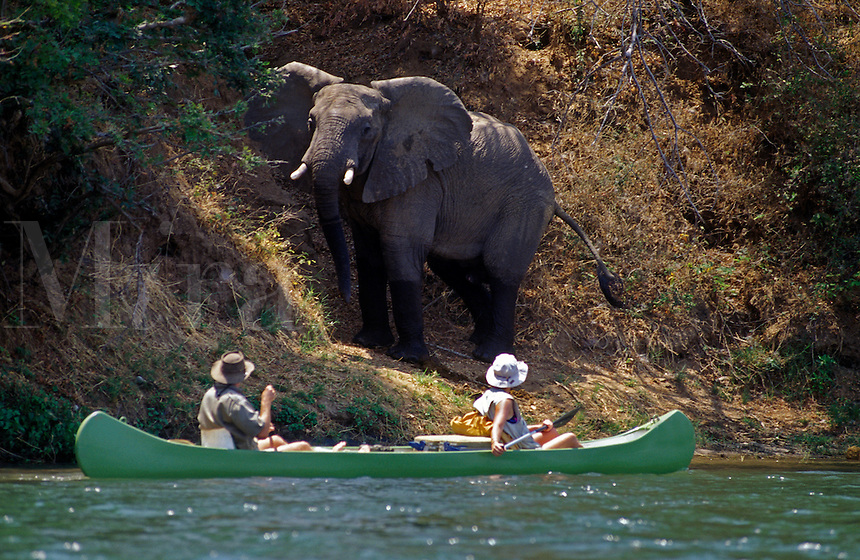 A close encounter with an AFRICAN ELEPHANT increases the heart rate of the bravest ZAMBEZI CANOE enthusiast