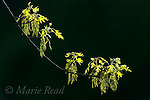 Oak (Quercus sp) catkins and newly-emerging leaves in spring, Ithaca, New York, USA