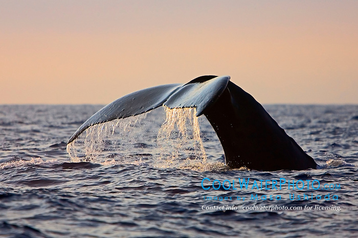 Humpback Whale, fluke-up dive, Megaptera novaeangliae, Hawaii, Pacific Ocean.