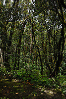 Forests of North Tenerife, Agana & Mercedes mountains, Tenerife,Canary Islands, Spain.