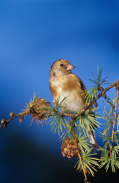 European Goldfinch, Carduelis carduelis, young eating on cones of European Larch (Larix decidua) , Unteraegeri, Switzerland, Europe