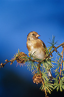 European Goldfinch, Carduelis carduelis, young eating on cones of European Larch (Larix decidua) , Unteraegeri, Switzerland, Europe