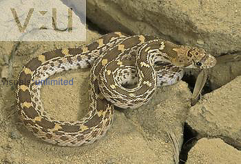 Sonora Gopher Snake ,Pituophis melanoleucus affinis,, Southwestern North America.