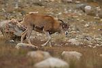 Argali (Ovis ammon) sub-adult female, Sarychat-Ertash Strict Nature Reserve, Tien Shan Mountains, eastern Kyrgyzstan