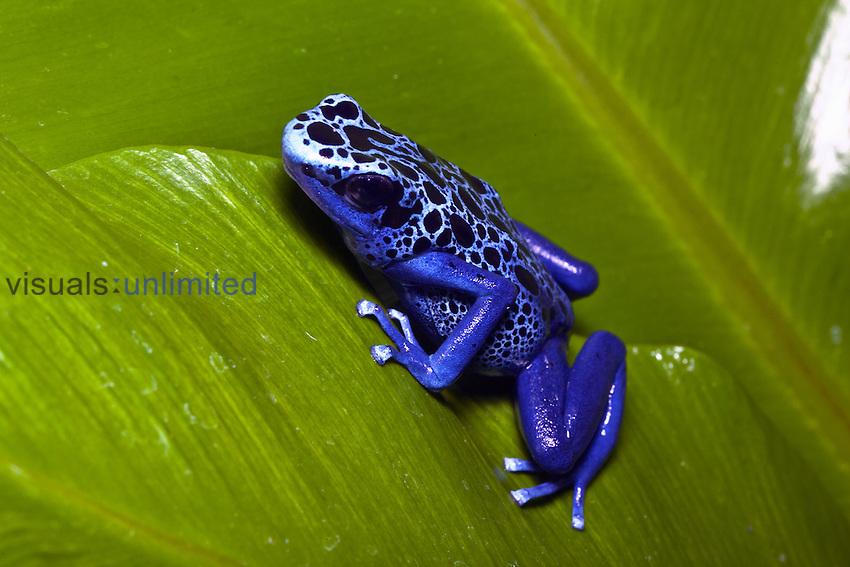 Blue Poison Dart Frog (Dendrobates azureus).