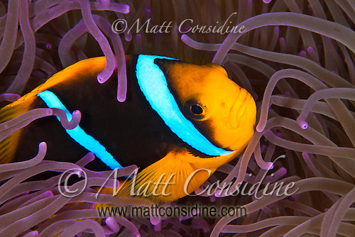 Clark's Anemonefish taking refuge in the tentacles of a purple anemone Palau Micronesia. (Photo by Matt Considine - Images of Asia Collection) (Matt Considine)