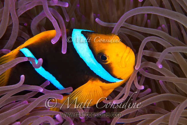Clark's Anemonefish taking refuge in the tentacles of a purple anemone Palau Micronesia. (Photo by Matt Considine - Images of Asia Collection)