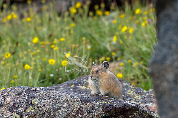 American pika (Ochotona princeps) surrounded by cinquefoil flowers.  Beartooth Mountains, Wyoming/Montana border.  Summer.  This photo was taken in alpine setting at around 11,000 feet (3350 meters) elevation.