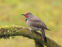 Northern flicker, red-shafted male, perched on a moss-covered maple branch.<br />