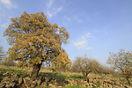 Golan Heights, Mount Tabor oak (Quercus ithaburensis) trees in Yehudiya Forest Nature Reserve