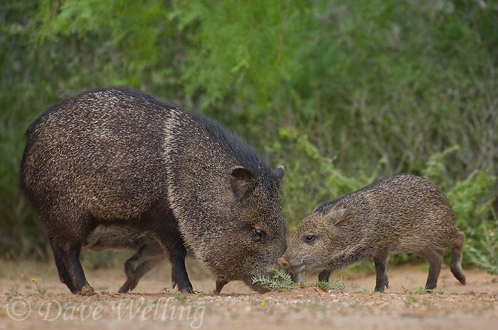 650520319 wild javelinas or collared peccaries dicolytes tajacu forage near a waterhole on santa clara ranch in starr county rio grande valley texas united states