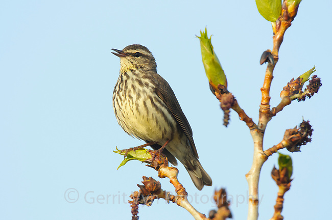 Adult Northern Waterthrush (Seiurus noveboracensis) singing. Seward Peninsula, Alaska. May.