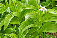 False Hellebore and Avalanche Lilly, Mount Rainier National park, Washington