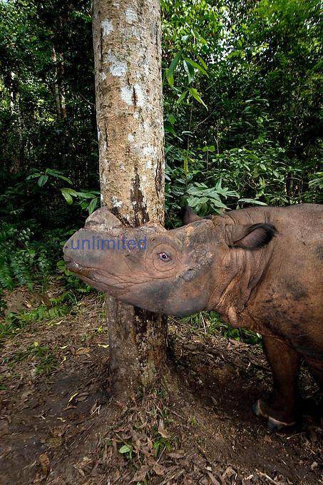 Sumatran rhino (Dicerorhinus sumatrensis) - tree rubbing.Way Kambas National Park, Lampung Province, southern Sumatra, Indonesia.Critically endangered / threatened species - fewer than 200 left.Captive - Sumatran Rhino Sanctuary within the park