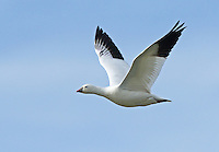 A Ross's goose flies closely by through the blue sky.<br />