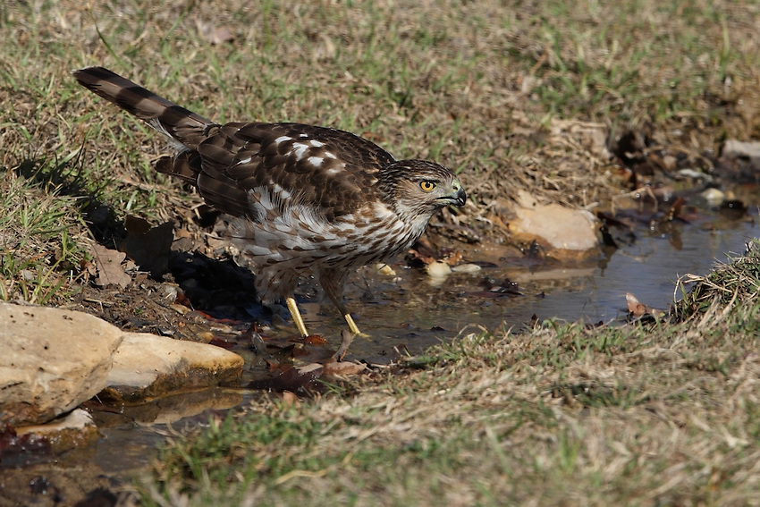The Cooper's Hawk is seen here getting a drink..
