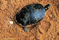 1R13-067z  Painted Turtle - female adult laying eggs in sand - Chrysemys picta