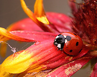 Lady bug and firewheel flower.