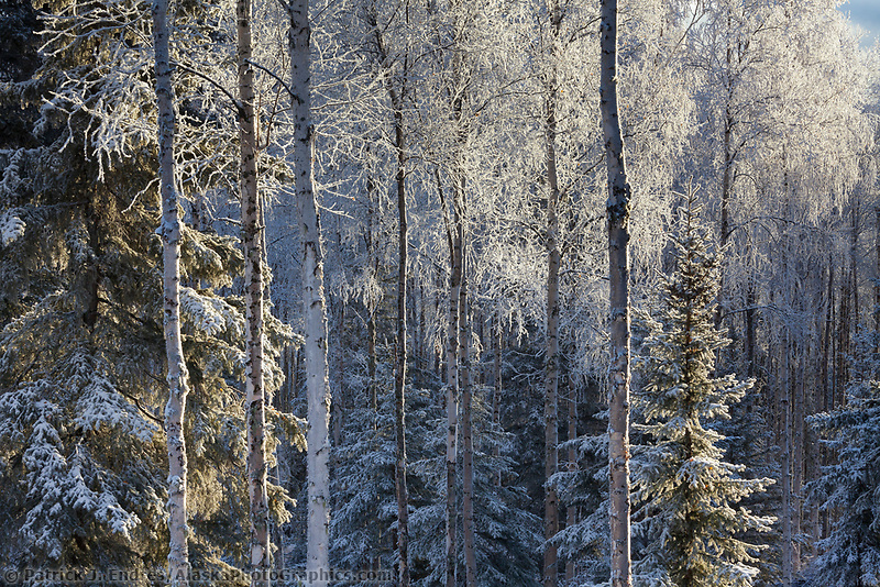 Frost covers the branches of birch and spruce trees in the winter boreal forest in Fairbanks, Alaska.