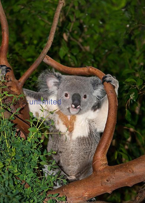 Koala (Phascolarctos cinereus), Australia.