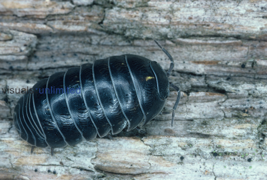 Pill Bug also known as a Sow Bug