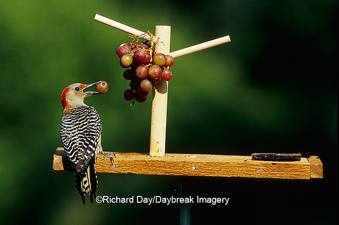 01196-02612 Red-bellied Woodpecker (Melanerpes carolinus) female eating grapes at feeder Marion Co. IL