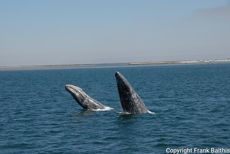 2 gray whales breach at Laguna San Ignacio