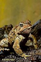 FR11-161z  American Toad - Anaxyrus americanus, formerly Bufo americanus