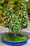 Cute flowering Bonsai trees with colorful blossoms in a Japanese garden in Uji, Japan