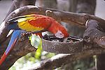 scarlet macaw feeding