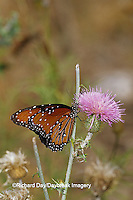 03537-003.12 Queen butterfly (Danaus gilippus) on thistle Starr Co. TX