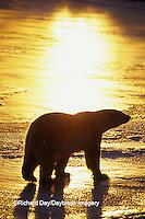 01874-01514 Polar Bear (Ursus maritimus)  walking on frozen pond at sunset Churchill  MB