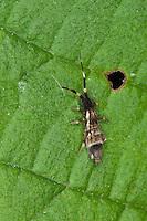 Bunter Springschwanz, Orchesella flavescens var. melanocephala, Springtail, Spring-tail, Springschwänze, Collembola, Springtails