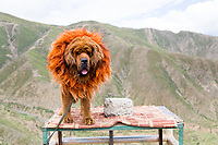 On the road to Ganden monastery near Lhasa, a Tibetan Mastiff dog stands on a small table. Traditionally, this fearsome dog was used by farmers to protect their livestock from wolves and bears. Now, many act as props for tourists to have their photo take with, providing basic incomes for local farmers.