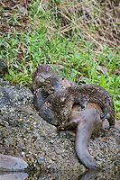 Northern River Otter (Lontra canadensis) nursing pups.  Western U.S., summer...