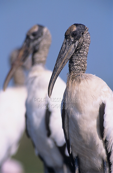 Wood Stork, Mycteria americana, adults, Lake Corpus Christi, Texas, USA