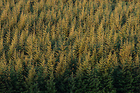 Coniferous forest at sunrise/Parc naturel regional du Haut-Languedoc/Caroux