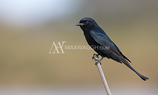 The fork-tailed drongo is one of the more common birds seen in the South African bush.