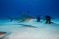 RW4114-D. Tiger Shark (Galeocerdo cuvier) swims in front of divers during an offshore baited dive organized for shark enthusiasts. Tourists in the background take pictures of this large and dangerous shark. Bahamas, Atlantic Ocean.<br /> Photo Copyright &copy; Brandon Cole. All rights reserved worldwide.  www.brandoncole.com