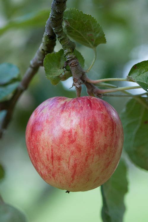Apple 'Colonel Vaughan' (syn. 'Kentish Pippin'), late September. Very old English dessert apple, possibly dating back to the late 1600s. Widely grown in the 18th and early 19th centuries.